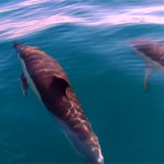 El delfín común es una de las especies más inteligentes del mundo