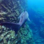 El tiburón solrayo es una de las especies de tiburón más dóciles