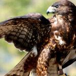 El águila calzada es la especie más pequeña de España