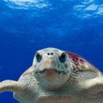 La tortuga boba es una especie habitual del litoral español