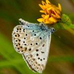 La mariposa aricia se caracteriza por sus delicados flecos blancos.