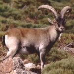 La cabra montés ofrece un espectáculo de cortejo