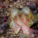 La fabiana es una especie de molusco cefalópodo