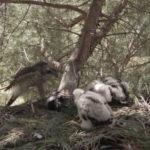 El azor común necesita tener una fuente de agua fresca en las proximidades del nido