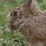 La liebre posee unas orejas muy características