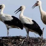 La cigüeña blanca es un ave que vive cerca del agua