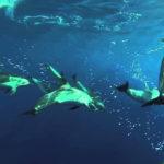 La pardela cenicienta colabora con los delfines a la hora de pescar