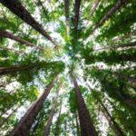Los árboles como sumideros de CO2