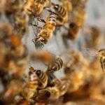 abejas en peligro de extinción