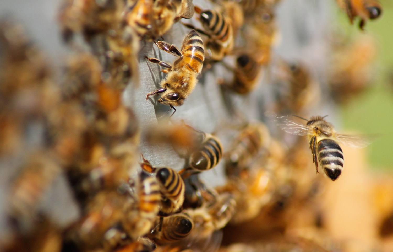 La abeja, en grave peligro de extinción