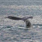 Las ballenas jorobadas superan el peligro de extinción