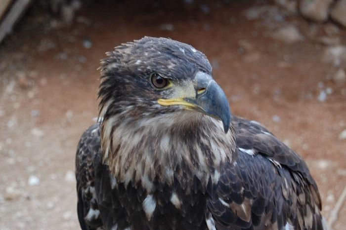 animales en peligro de extinción en España, águila imperial