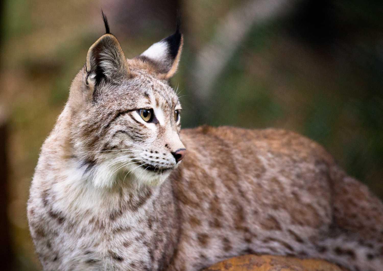 10 especies animales en peligro de extinción en España