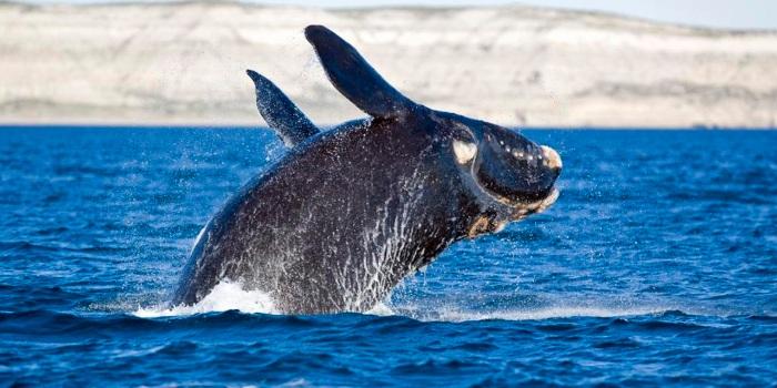 animales en peligro de extinción en España, ballena vasca