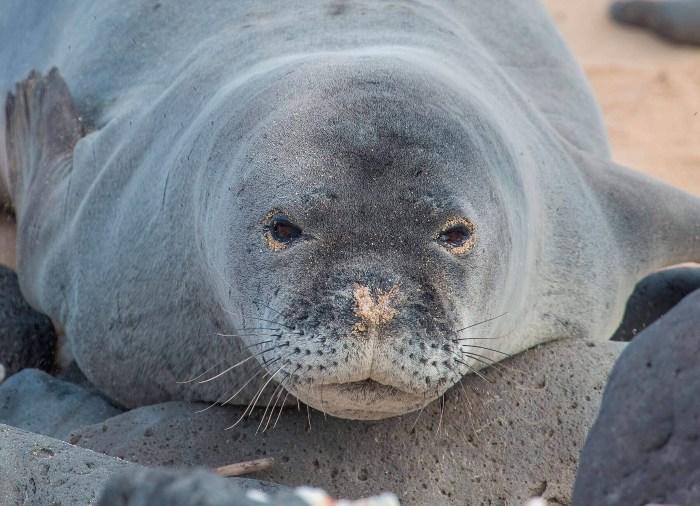 animales en peligro de extinción en España, foca monje