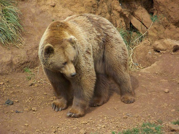 animales en peligro de extinción en España, oso pardo