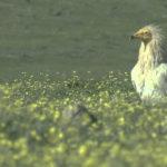 El alimoche es un ave inconfundible en peligro de extinción