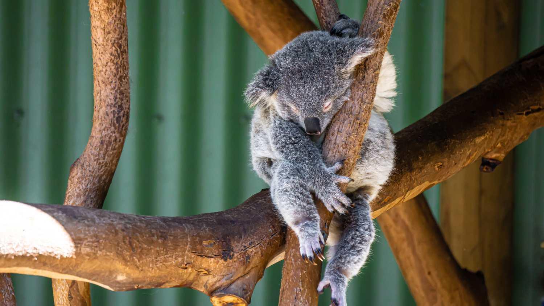Conoce si realmente el koala está en peligro de extinción