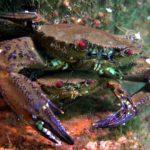 La nécora es un crustáceo canibal