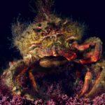 La centolla es un crustáceo capaz de predecir temporales