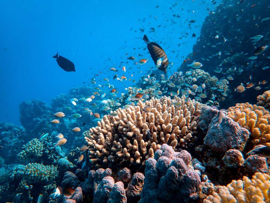 arrecifes de coral, amenazados por microplásticos