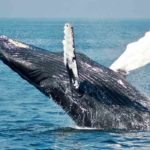 Conservación de las ballenas, por Ana Mª García Cegarra