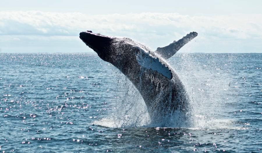 La conservación de ballenas resulta clave para mitigar los efectos del cambio climático