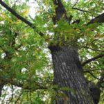 El castaño es un árbol que ha actuado como refugio durante siglos.
