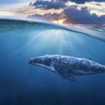proteger a las ballenas