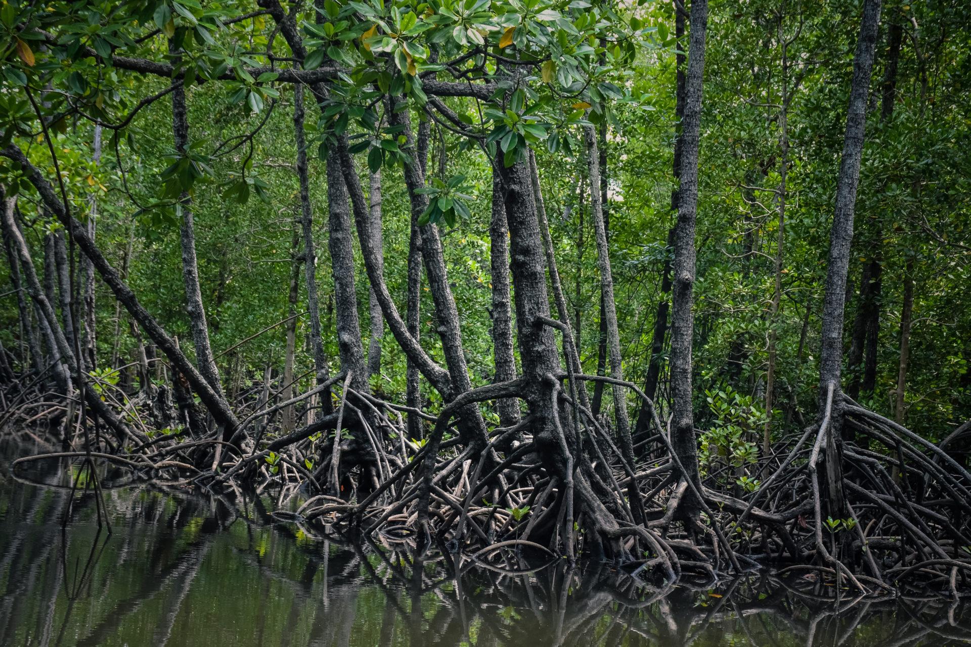 proteger los manglares