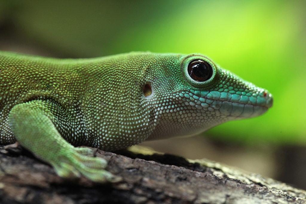 El gecko de Madagascar es una especie animal que se camufla para pasar desapercibido