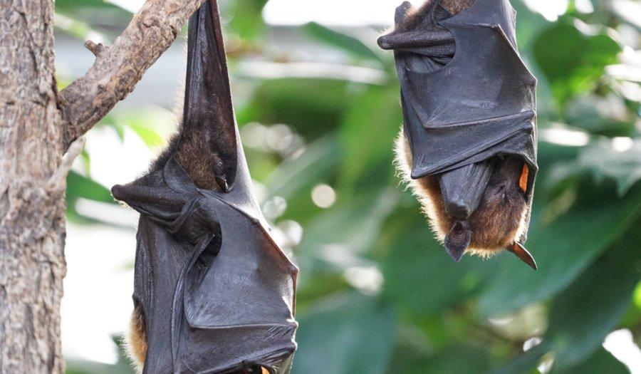 El murciélago es uno de los animales que hibernan