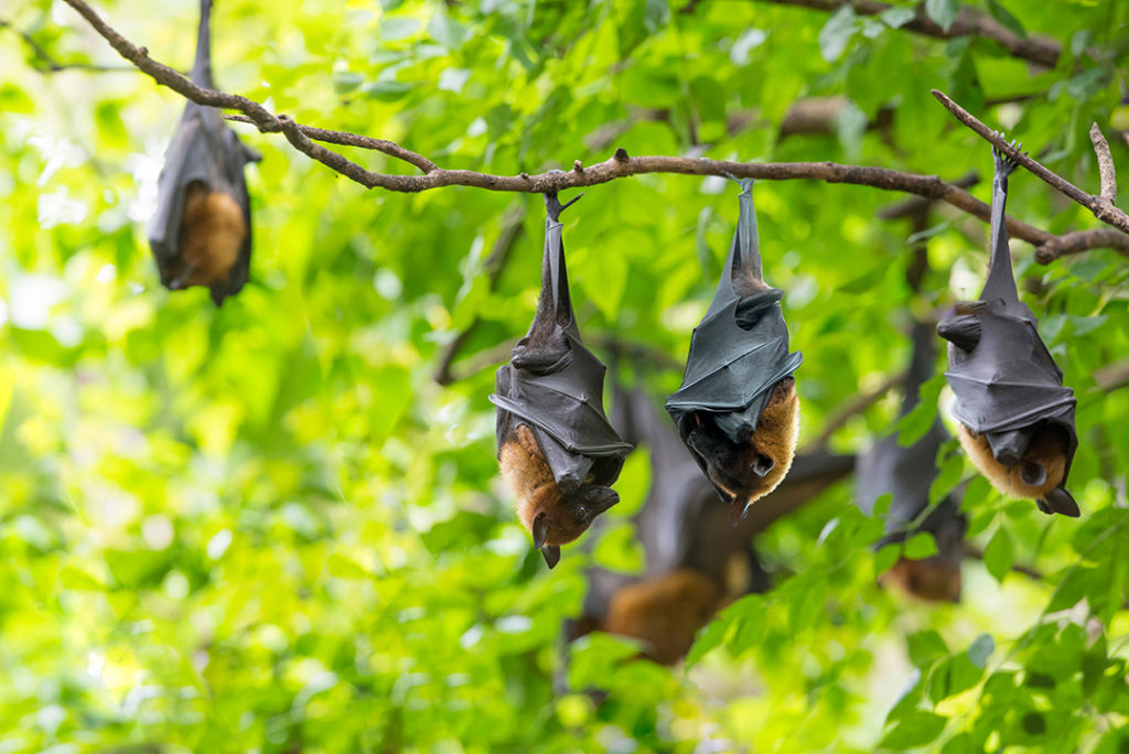 Los murciélagos son transmisores de enfermedades zoonóticas de animales a humanos