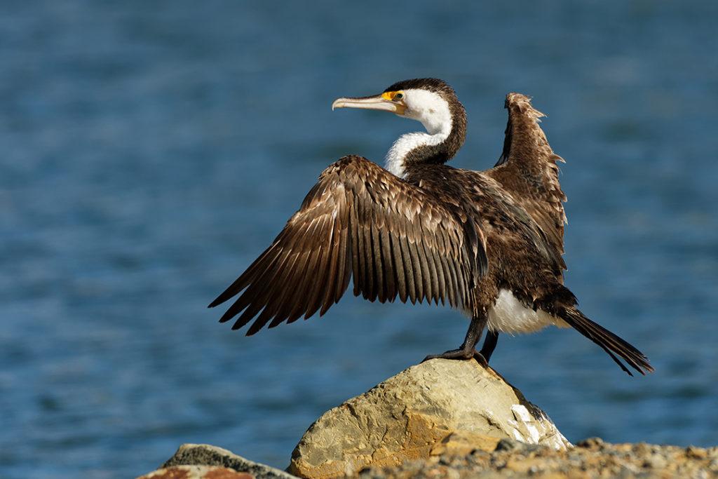 El cormoran moñudo es una de las especies que enriquecen la biodiversidad de las islas Cíes hasta convertirse en un símbolo de éstas