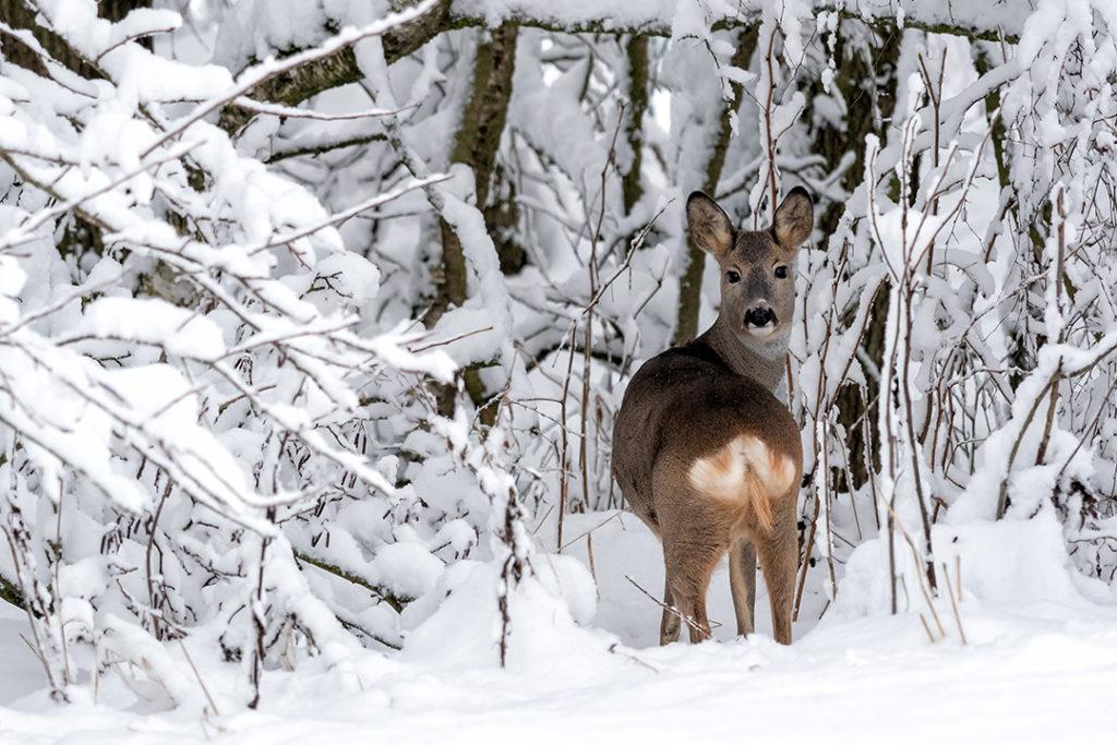 Los corzos son uno de los animales que se dejan ver en la nieve