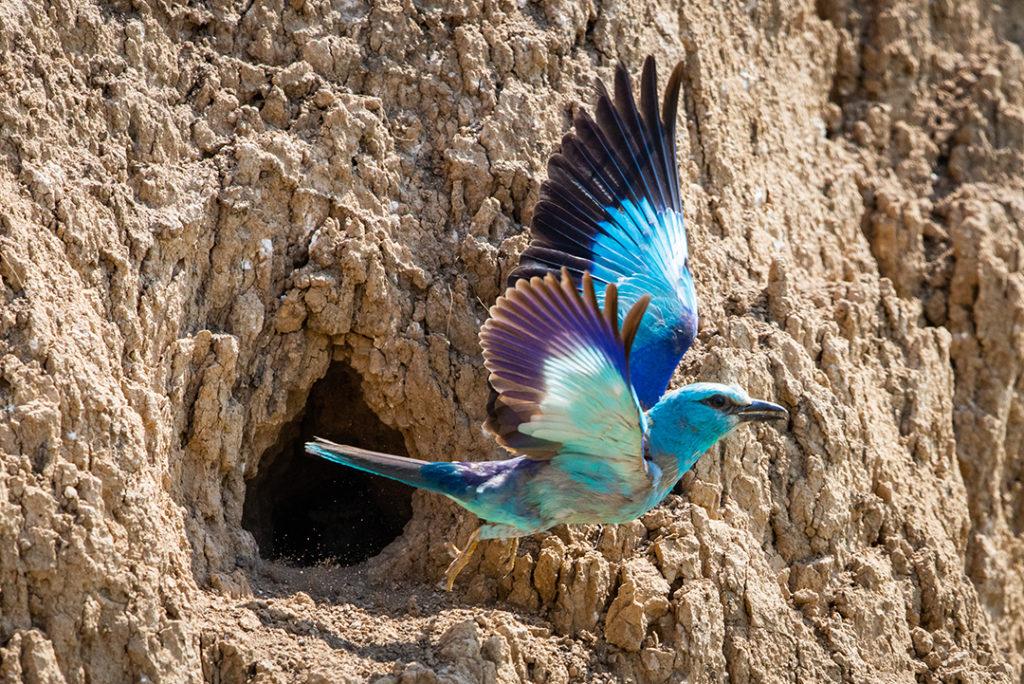 La carraca europea es una especie de ave que está amenazada por la pérdida y degradación del suelo