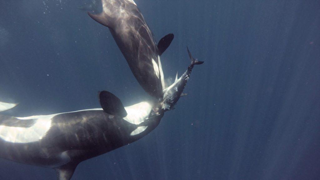 En esta primera serie de Conversaciones Aquae, conducido por Mónica Fernández-Aceytuno, hablamos con Manuel Esteve de sus filmaciones en el Estrecho y la relación entre las orcas y los neandertales