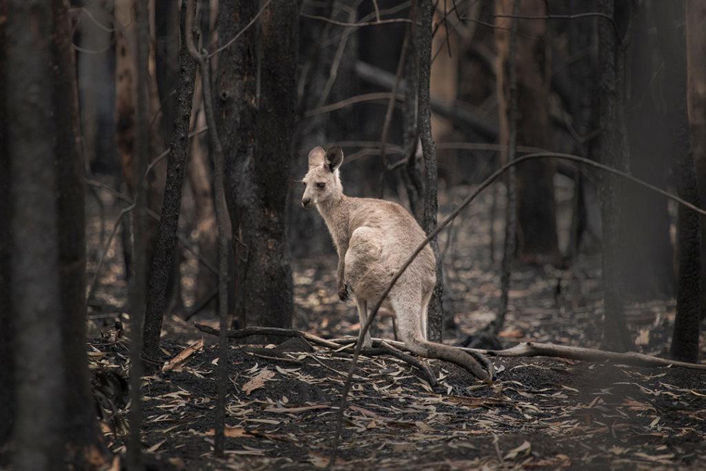 Los mega incendios juegan un papel clave en favor de la deforestación provocando la destrucción del hábitat de miles de especies