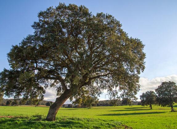 El árbol más popular