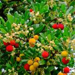 El madroño, un árbol de coloridos frutos